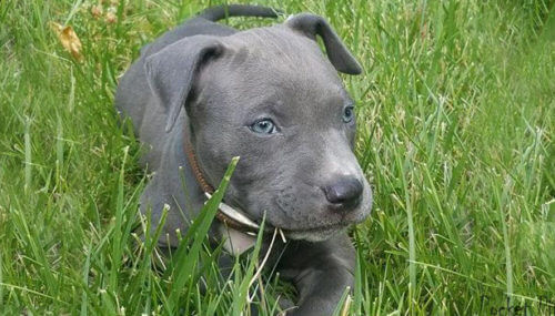 Blue Nose Pitbull Info And Care