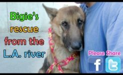 German Shepherd rescued from the Los Angeles River – Please share.
