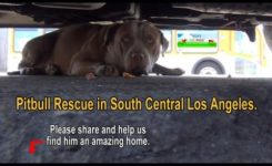 Pit Bull Rescue in South Central Los Angeles – Please share.