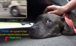 Tyrion – An injured Pit Bull rescued a moment before disaster.  Please share.