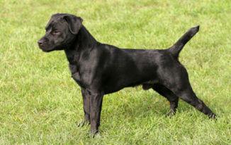patterdale terrier miniature pitbull