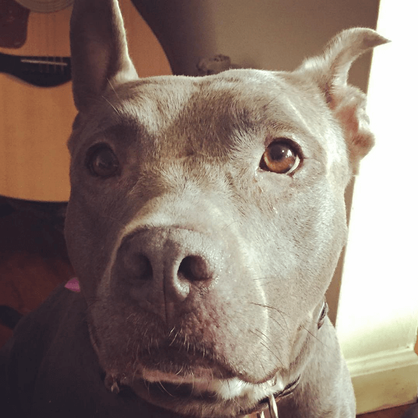 roxy the pitbull