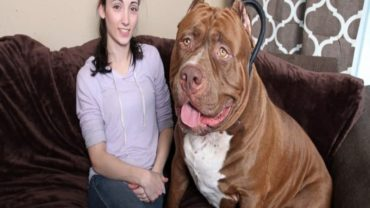 XXL Pitbulls – Massive, Impressive and One-of-a-Kind