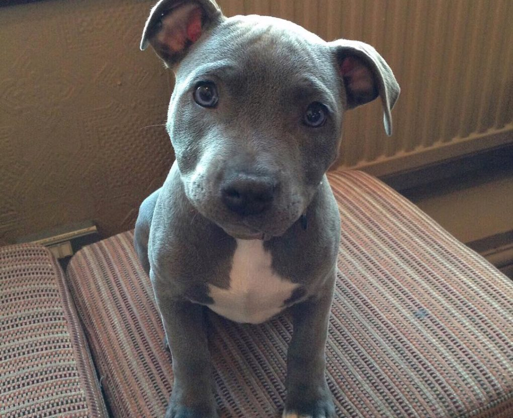 staffy puppy