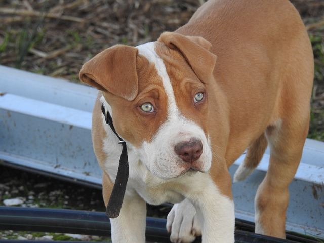 Red Nose Pitbull Red Nose Pit Bulls Care