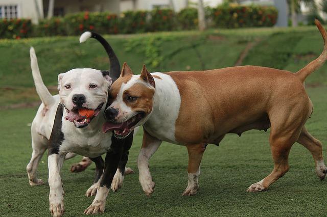 Big Bully Pitbulls - XXL Pitbull - Hulk The Pitbull