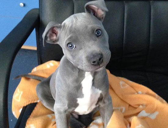 blueline pittbull