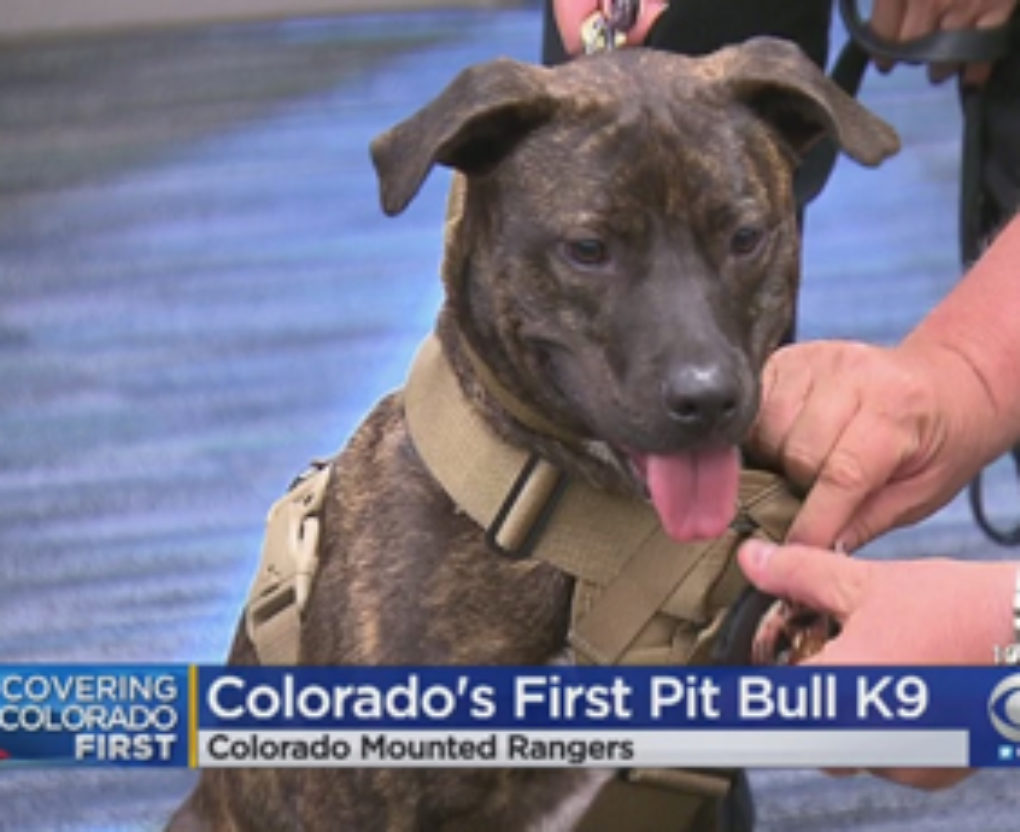 the-first-k-9-pit-bull-officer-with-the-colorado-rangers-fi