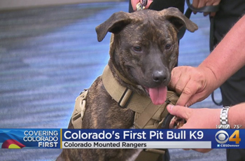 The First K-9 Pit Bull Officer With The Colorado Rangers