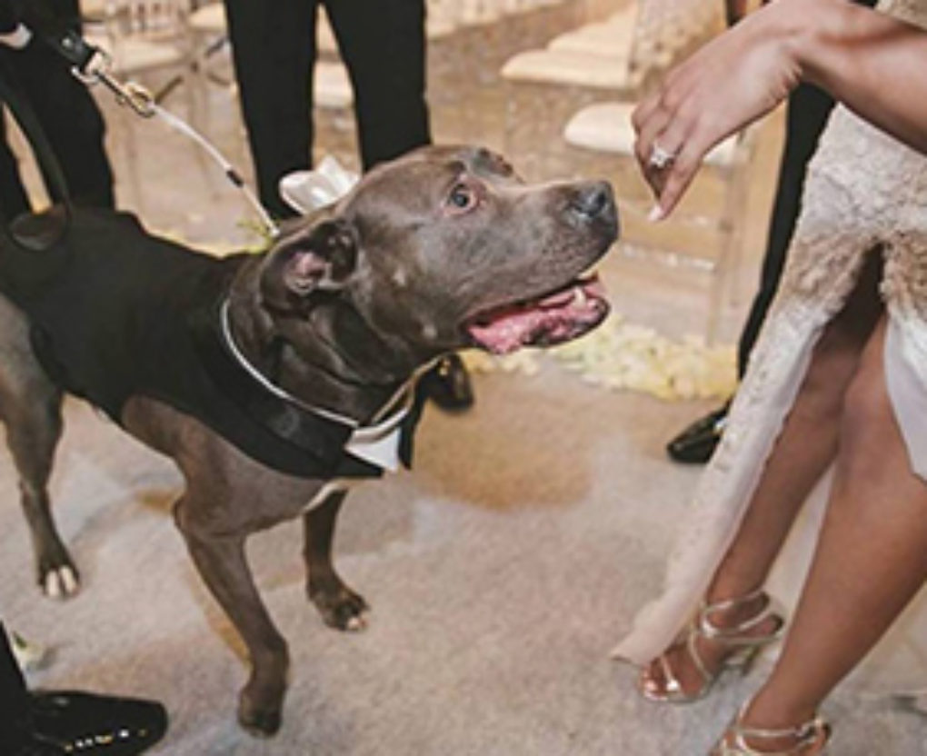 pit bull walked the wedding aisle with his famous owner FI