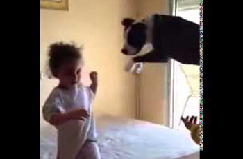 Loco the Pit Bull Mimics Humans Jumping on Mattress for Trampoline!