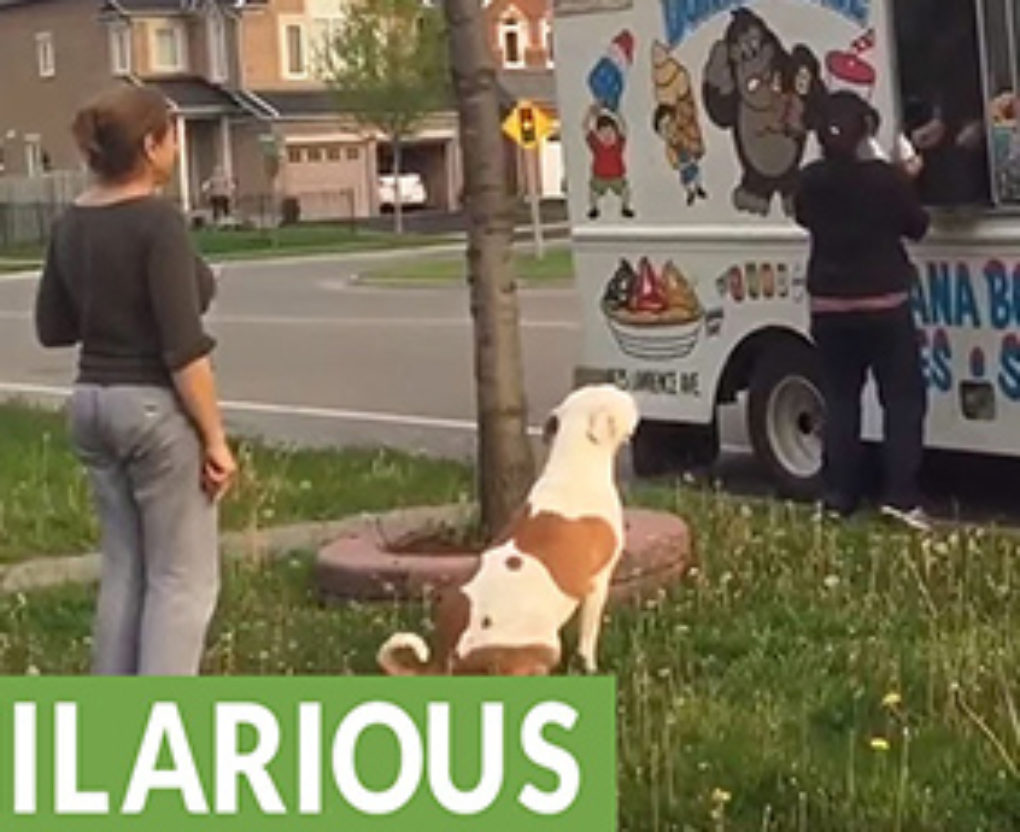 pit bull is a regular customer for neighborhood ice cream truck fi